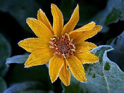 Photo Sunflower Frost Flower