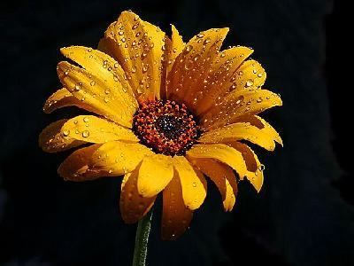 Photo Wet Flower Flower