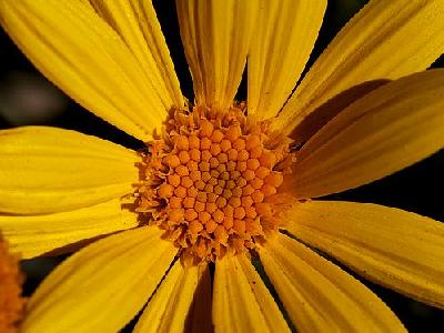 Photo Yellow Daisy Flower