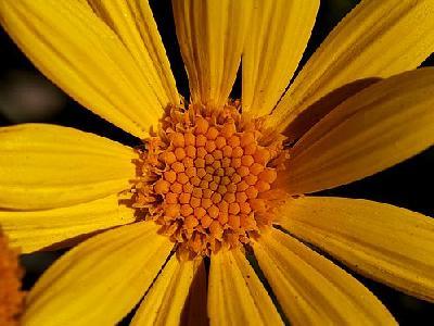 Photo Yellow Daisy Flower