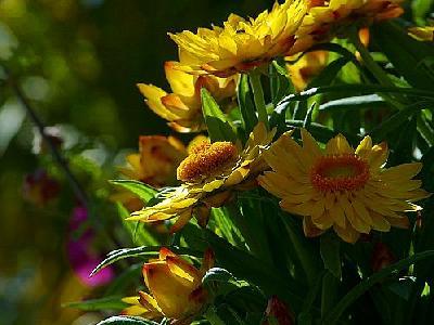 Photo Yellow Flowers 3 Flower