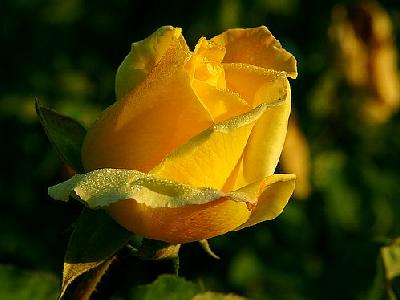 Photo Yellow Rose 2 Flower
