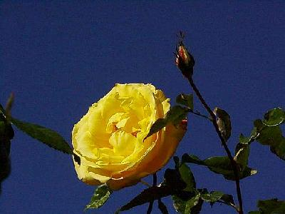 Photo Yellow Rose 4 Flower