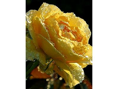 Photo Yellow Rose Drops Flower