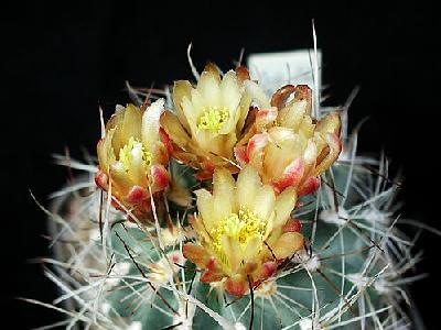 Photo Cactus 1 Flower