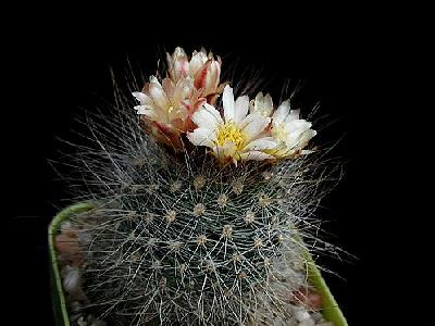 Photo Cactus 150 Flower