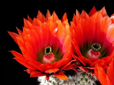 Photo Cactus 26 Flower