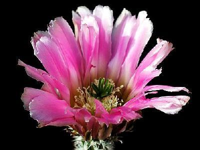 Photo Cactus 31 Flower