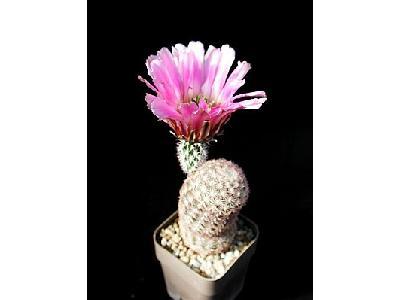 Photo Cactus 34 Flower