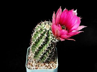 Photo Cactus 42 Flower