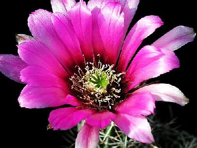 Photo Cactus 45 Flower
