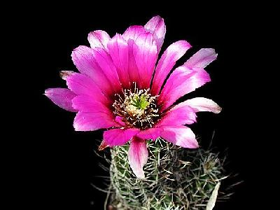 Photo Cactus 48 Flower
