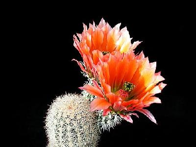Photo Cactus 53 Flower