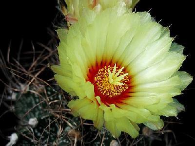 Photo Cactus 7 Flower