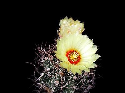 Photo Cactus 9 Flower