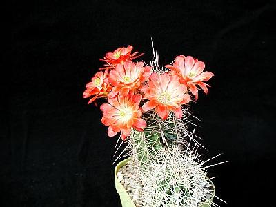 Photo Cactus 98 Flower