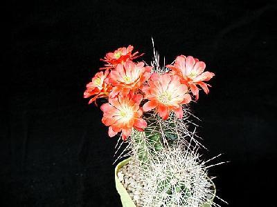 Photo Cactus 98 Flower