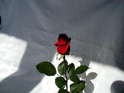 Photo Rose 11 Flower