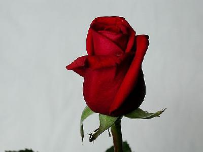 Photo Rose 14 Flower
