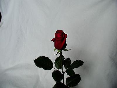 Photo Rose 17 Flower