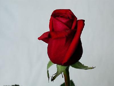 Photo Rose 36 Flower