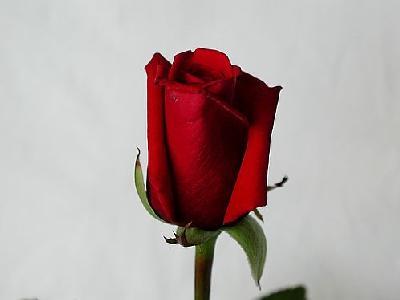 Photo Rose 47 Flower