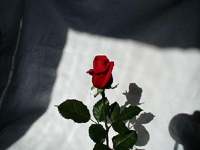 Photo Rose 5 Flower