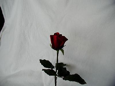 Photo Rose 66 Flower
