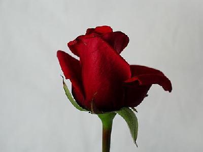 Photo Rose 77 Flower