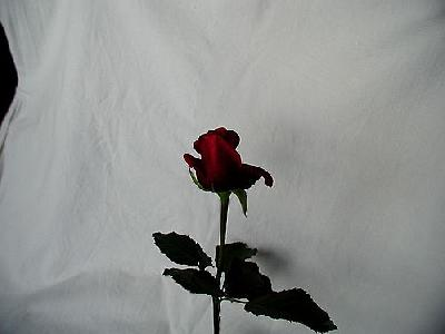 Photo Rose 88 Flower