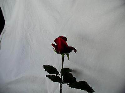 Photo Rose 90 Flower