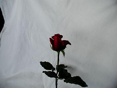 Photo Rose 96 Flower
