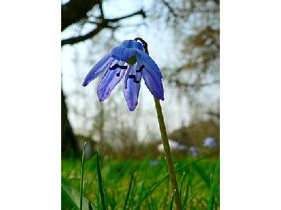 Photo Siberian Squill 2 Flower