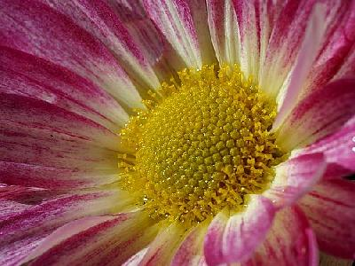 Photo Daisy Flower