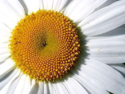 Photo Daisy Detail Flower
