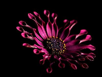 Photo Pink Whirls Daisy Flower