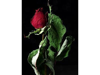 Photo Rose 2 Flower