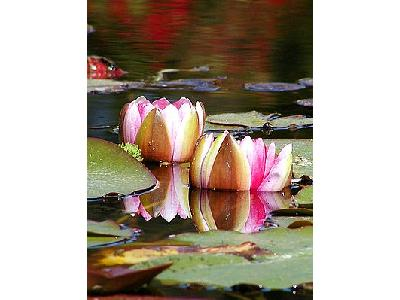 Photo Water Lillies Flower