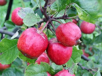 Photo Apple 7 Food