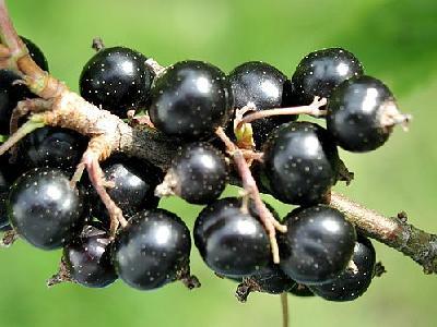Photo Black Currant 3 Food