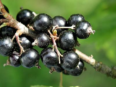 Photo Black Currant 4 Food