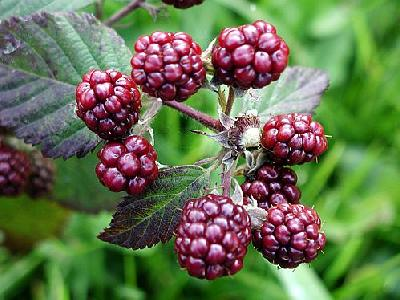 Photo Blackberries 4 Food