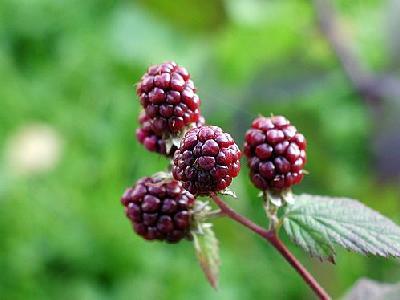 Photo Blackberries 5 Food
