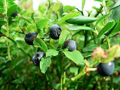 Photo Blueberries 2 Food