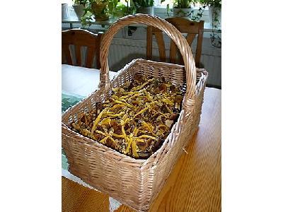 Photo Cantharellus Tubaeformis Food