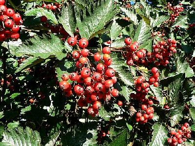 Photo Red Tree Berries Food