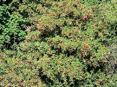 Photo Rowan Tree With Berries Food