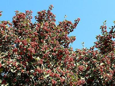 Photo Tree With Red Berries Food