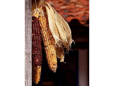 Photo Dried Corn Cobs Food