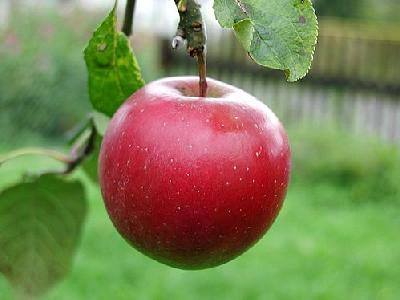 Photo Apple 9 Food